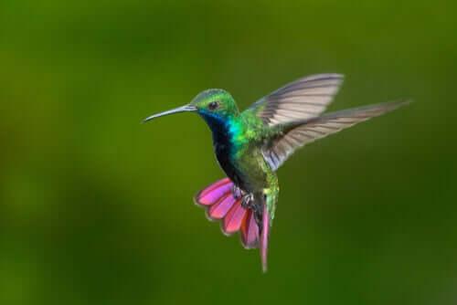 Kolibris in Kolumbien und Venezuela: Schönheit in voller Farbe