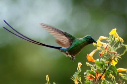 Kolibris in Venezuela