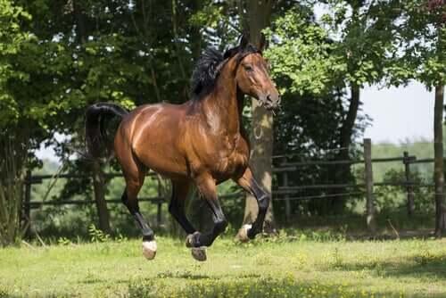 Maremmano Pferd: Ursprung und Eigenschaften