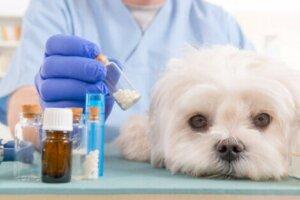 Während er den Ursprung des Problems bestimmt, wird dein Tierarzt höchstwahrscheinlich die Gabe präventiver Antibiotika empfehlen