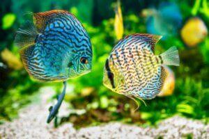 Der ideale pH-Wert hängt von den Arten der Fische ab, die du in deinem Aquarium hältst