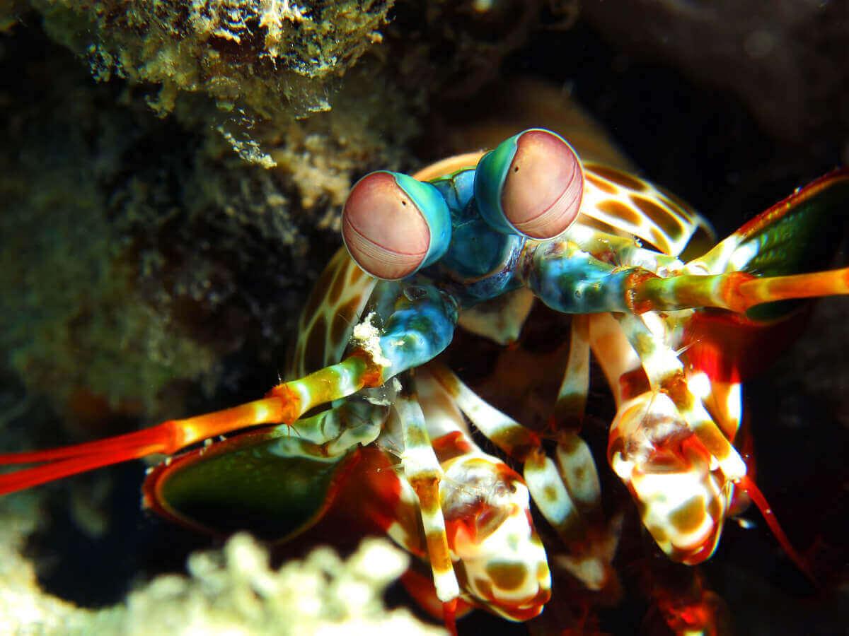 Fangschreckenkrebs - Foto