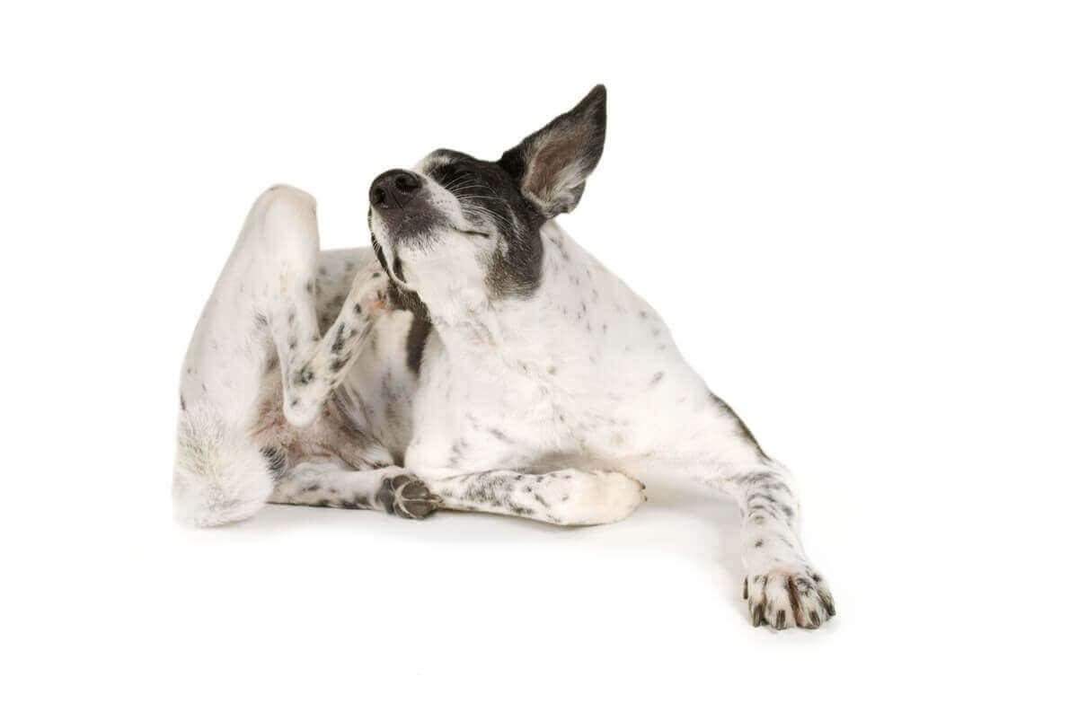 Hautreizungen bei Hunden - Hund kratzt sich