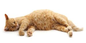 Notfälle nach der Geburt - schwangere Katze