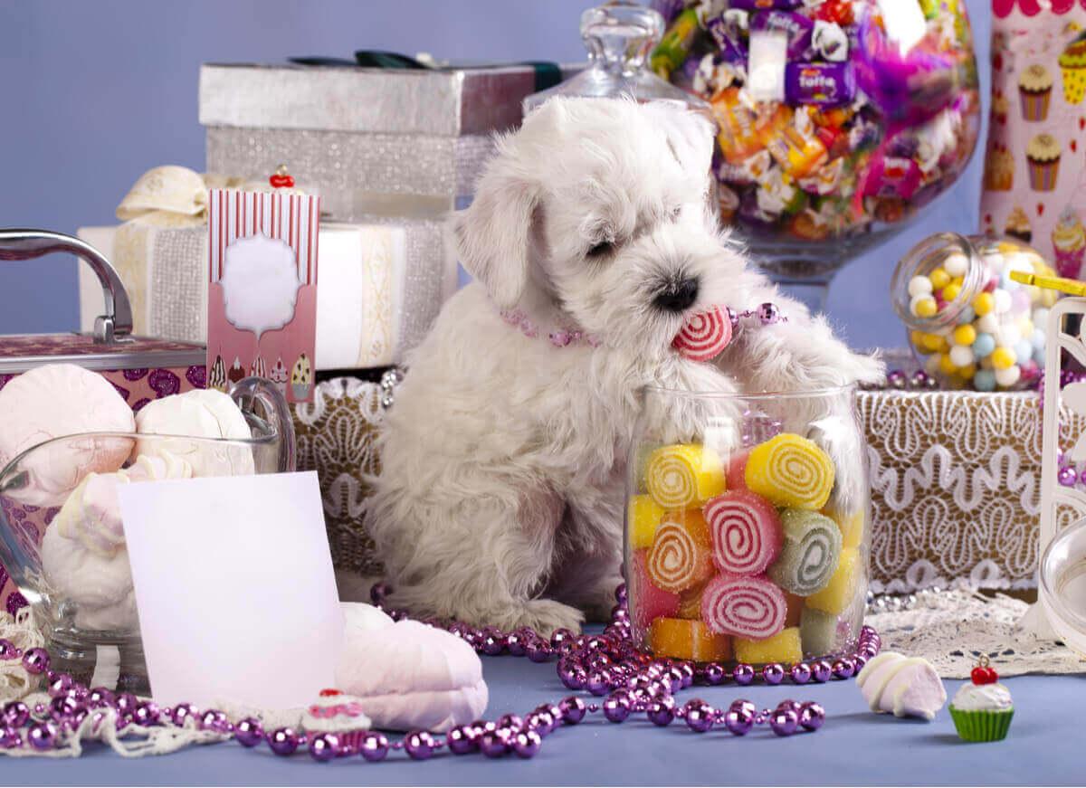 Süßigkeiten - Hund umgeben von Bonbons