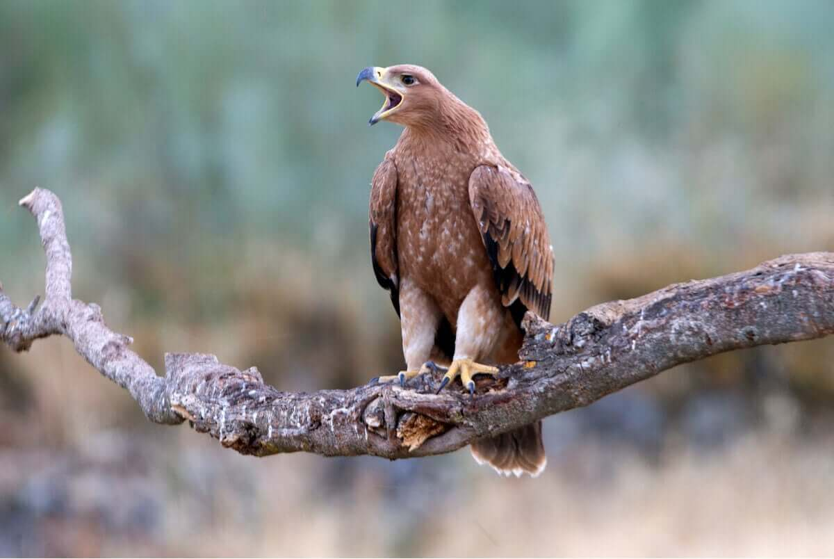 Guadarrama Nationalpark - Spanischer Kaiseradler
