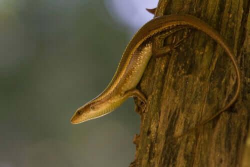 Sind Glattechsen Schlangen oder Eidechsen?