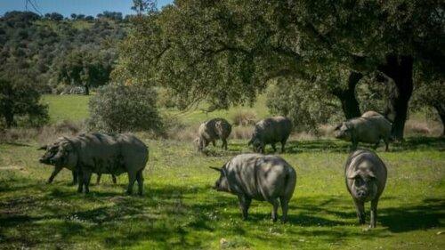 iberisches schwein und die schweinepest