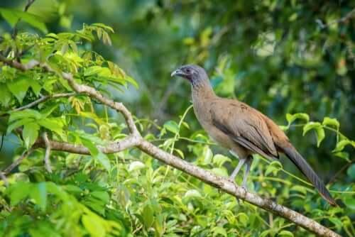 Der Rotschwanzguan, ein tropischer Vogel