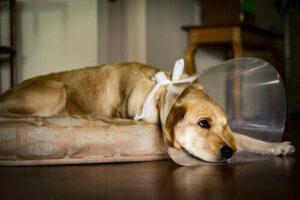 Eine Halskrause hindert, den Hund an seiner Wunde zu lecken