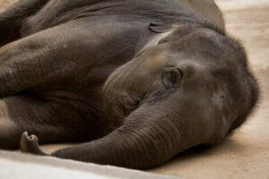 Je bequemer sich ein Elefant in einem Transportcontainer befindet, desto stressfreier wird der Transport