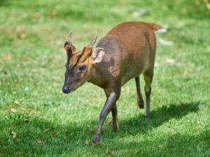 Die unbekanntesten Hirscharten der Welt