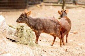 Die Pudus - die kleinsten Hirsche der Welt
