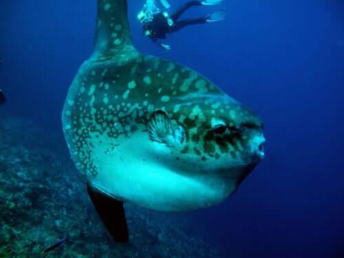 Mola mola mit Taucher