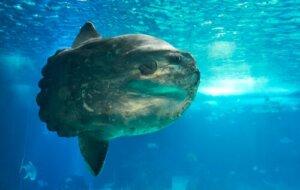 Mondfisch (Mola mola), der schwerste Knochenfisch der Welt