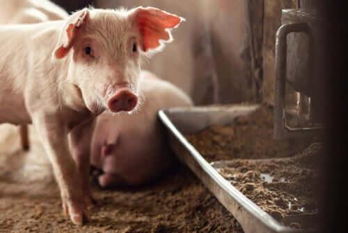 Aktuelle Tiergesundheitskrise: Die Afrikanische Schweinepest