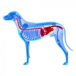 Das Darmmikrobiom bei Hunden besteht aus Bakterien, Pilzen und bestimmten Viren