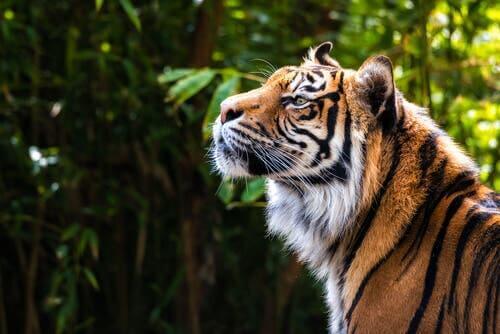 Auf den Spuren des Sibirischen Tigers - Ein Dokumentarfilm zum Nachdenken