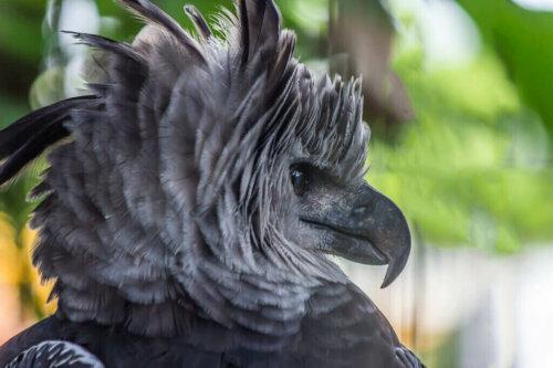 Harpyien, die riesigen Greifvögel Südamerikas