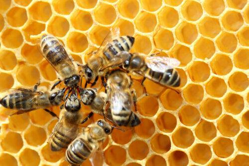 Schwänzeltanz: Der Tanz der Bienen
