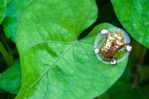 Kennst du den goldenen Schildkrötenkäfer?