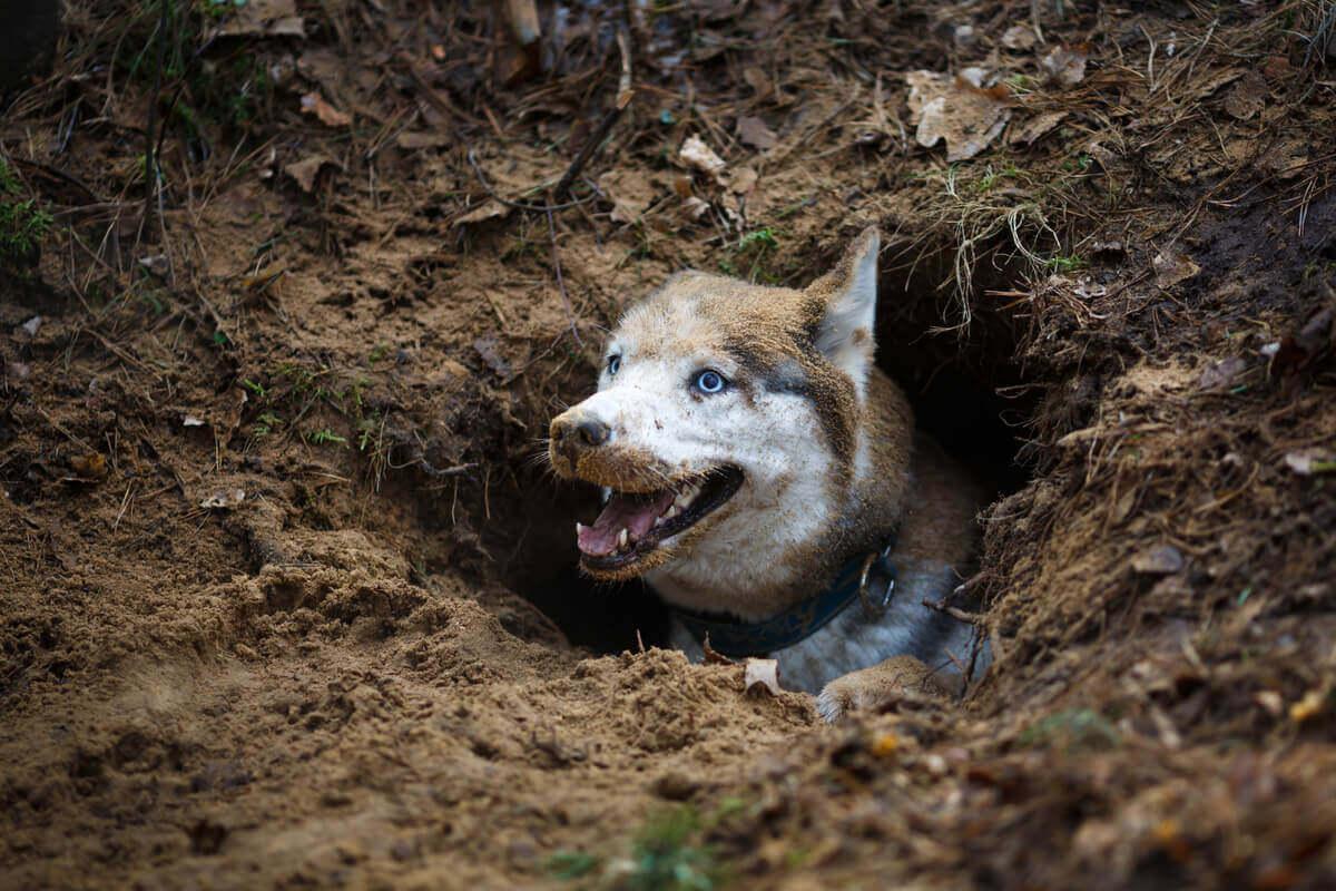 Futter vergraben - Hund in einem Loch
