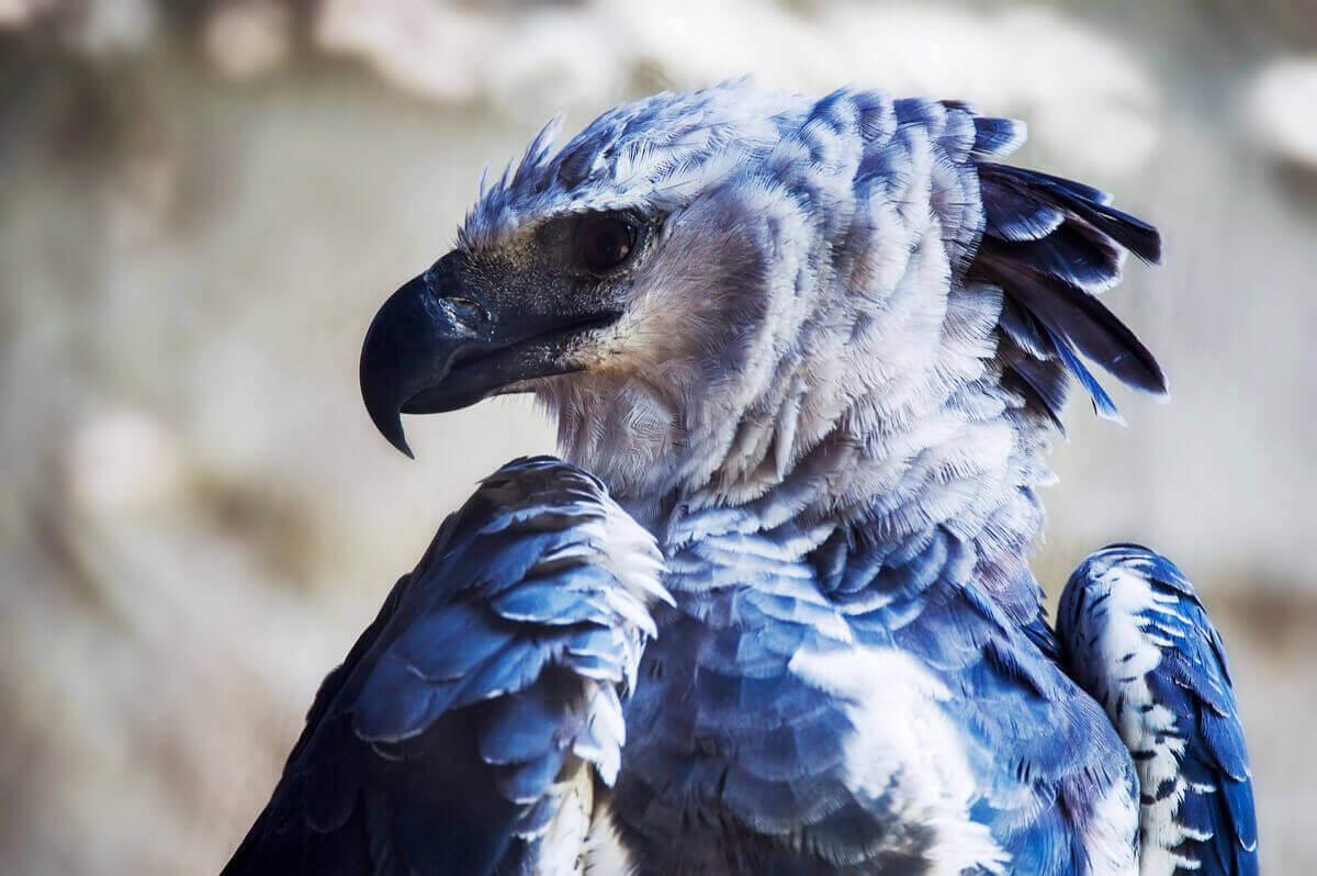 Harpyien - Seitenansicht des Kopfes
