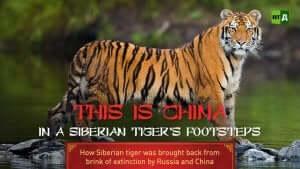 Sibirischen Tigers -Dokumentation