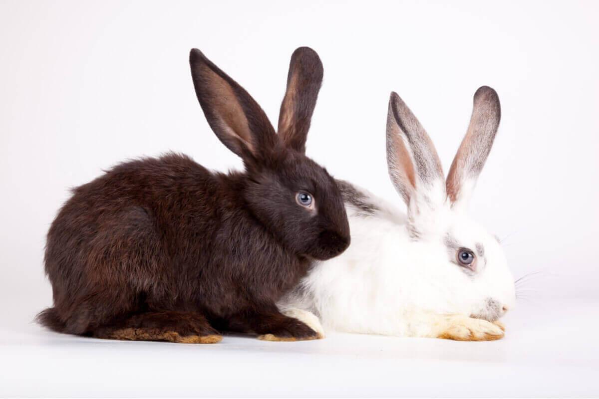 Tiergeneration - schwarzes und weißes Kaninchen