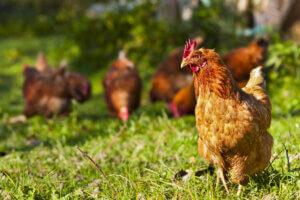 genetische Selektion - Hühner im Freien