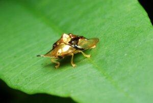 goldener Schildkrötenkäfer - auf einem Blatt