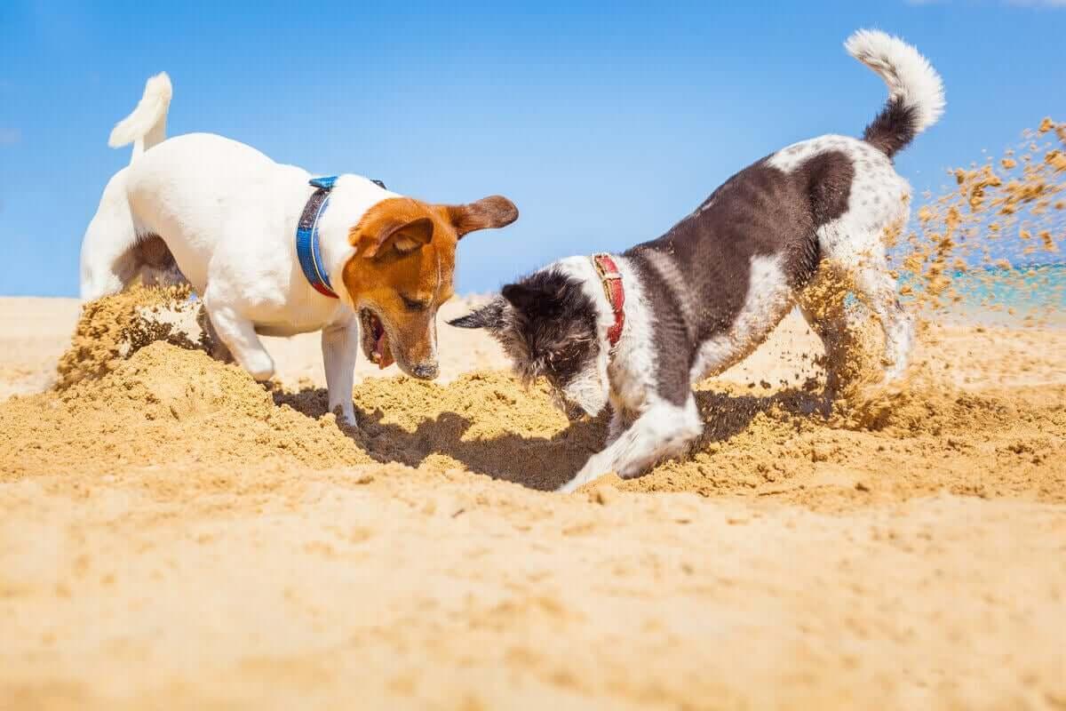 Futter vergraben - zwei Hunde buddeln im Sand