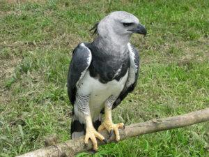 Harpyie - sitzt auf einem Ast