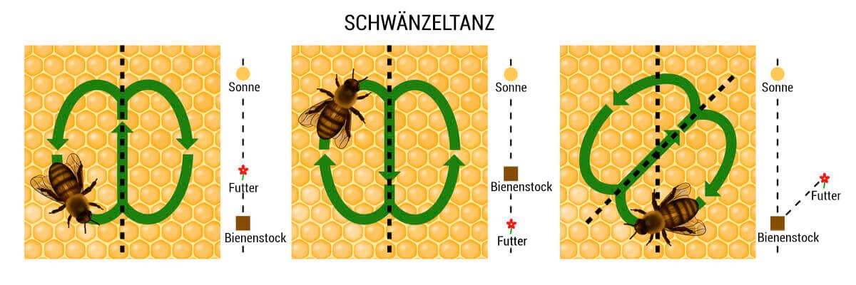 Schwänzeltanz der Bienen - schematische Darstellung
