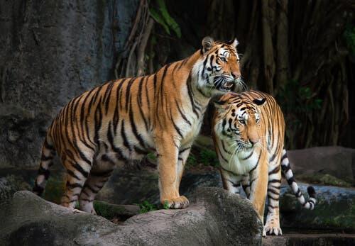 Sibirischen Tigers - zwei Tiger