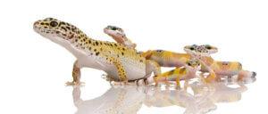genetische Selektion - Geckos