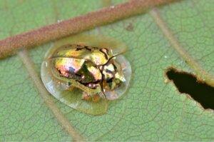 goldener Schildkrötenkäfer - Nahaufnahme