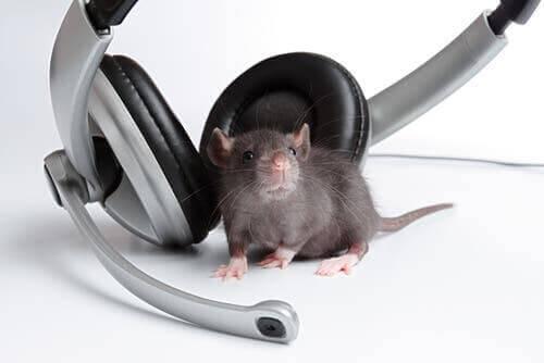 Musik - Ratte mit Kopfhörern