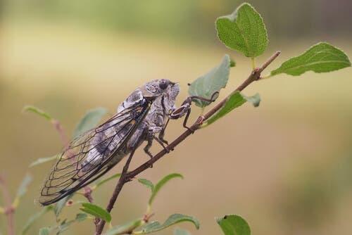 Zikade auf einem Ast