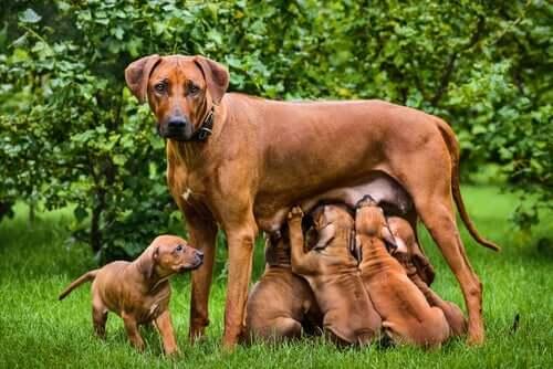 Das Stillen bei Hunden: Wichtige Fakten und Tipps