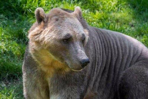 Der Grolar-Bär: Ein kurioser Hybrid der Natur