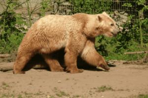 Grolar-Bären sind sehr energiegeladene Tiere