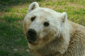 Der Grolar-Bär ist ein Hybrid aus Eisbär und Grizzlybär