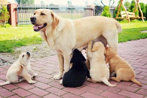Labrador mit Welpen