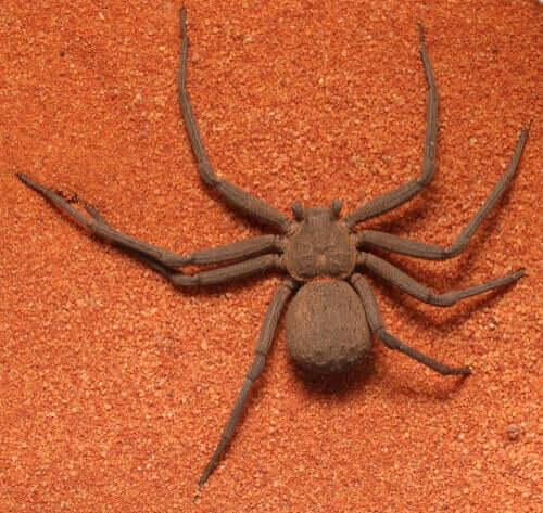 Sicarius Spinne