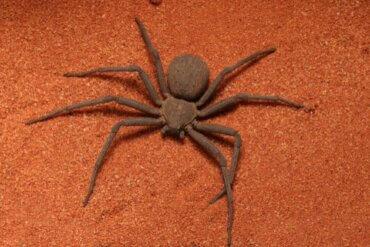 Sicarius-Spinnen und ihre wahre Tödlichkeit