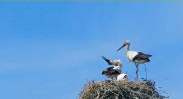 Störche: Alles über die Glücksvögel des Menschen