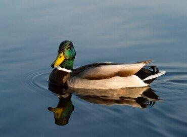 Alles Wissenswerte über Enten und ihre Verwandten