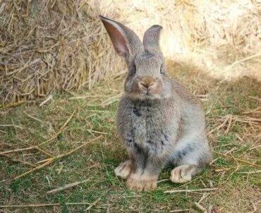 Der Kontinentalriese: Das größte Kaninchen der Welt