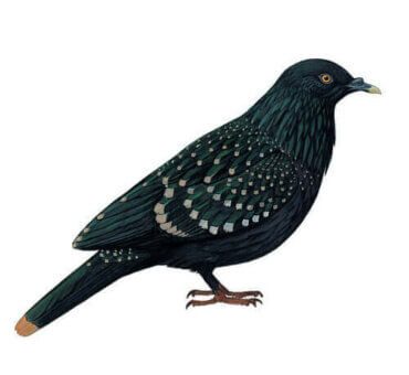 Die Liverpool-Taube: Lebensraum und Verhalten